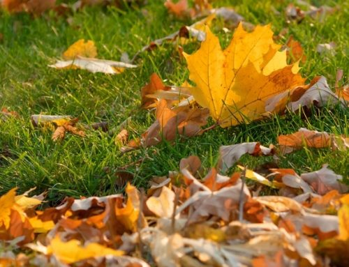 Managing your Lawn for Autumn